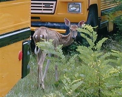 Photo of a Deer with Chronic Wasting Disease by WI DNR and CWD Alliance