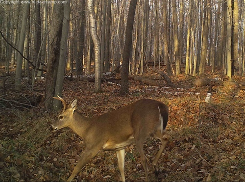 Trail Camera Pic of a Buck