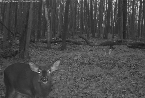 Trail Camera Pic of a Doe